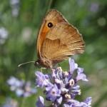 Ochsenauge auf Lavendel